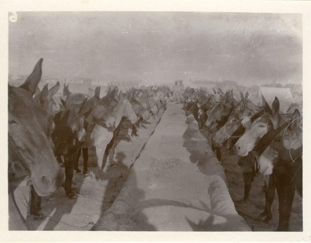 """Mule Lines""- Mesopotamia (Iraq) 1917"
